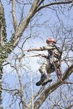 An arborist using a chainsaw to cut a walnut tree. Tree pruning Royalty Free Stock Photo