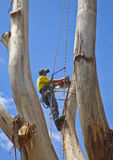 Arborist at work felling large tree 2. Arborist at work felling large tree while supported by safety harness and ropes Royalty Free Stock Image