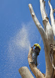 Arborist at work felling large tree. While supported by safety harness and ropes Stock Image