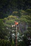 Arborist at work felling a pine tree. An arborist at work felling a old large pine tree in a bushland setting Stock Image