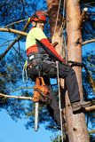 Arborist at work. Lumberjack with saw and harness climbing a tree Royalty Free Stock Image
