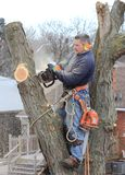 Arborist At Work. This tree cutter has forgotten to wear some of his safety equipment. Let's hope it doesn't lead to an eye injury Royalty Free Stock Photo