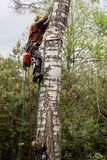 The arborist works on a birch trunk. Removal of large emergency trees by arbordistics specialists stock photos