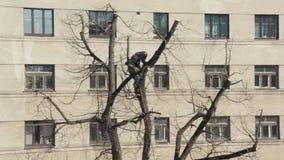 Arborista Cuts Linden Trees en el centro de Riga, Letonia almacen de metraje de vídeo
