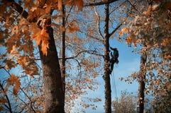 Arboristika. The worker on the tree Royalty Free Stock Image
