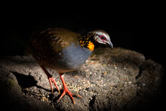 Arborophila rufogularis (rufous-throated partridge). Come out from the dark in nature at Meawong national park,Thailand Royalty Free Stock Photo