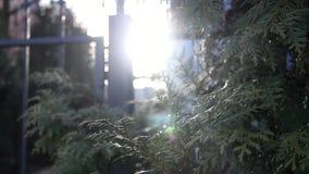 Arborvitae θάμνων απόθεμα βίντεο