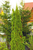Arborvitae και κομψά δέντρα Στοκ εικόνα με δικαίωμα ελεύθερης χρήσης