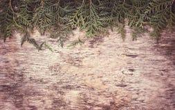 Arborvitae κλάδων Στοκ Εικόνες
