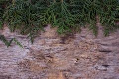 Arborvitae κλάδων Στοκ φωτογραφίες με δικαίωμα ελεύθερης χρήσης