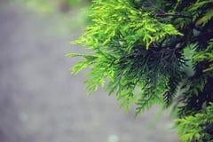 Arborvitae κλάδων, thuja αειθαλές Στοκ φωτογραφία με δικαίωμα ελεύθερης χρήσης