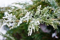 Arborvitae κλαδάκι Στοκ Εικόνες