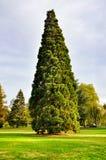 Arborvitae στον κήπο Στοκ φωτογραφία με δικαίωμα ελεύθερης χρήσης
