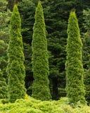 Arborvitae 3 деревьев стоковые фотографии rf