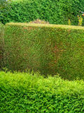 Arborvitae as a privacy. A hedge of arborvitae for privacy in a garden. cut and uncut Stock Images