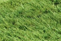 Arborvitae Background. Arborvitae Green Background (Shallow DOF Stock Photography