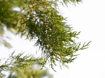 Arborvitae branch on the nature. macro. In the park in nature Royalty Free Stock Photo