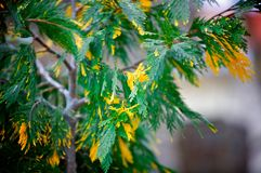 Arborvitae. Branch rare varieties of arborvitae growing in the Park Royalty Free Stock Images