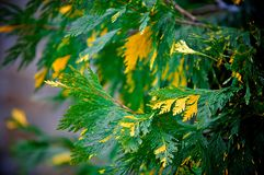 Arborvitae. Branch rare varieties of arborvitae growing in the Park Stock Images