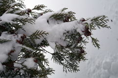 Arborvitae branch with small brown cones. And green needles covered with white snow Royalty Free Stock Photos