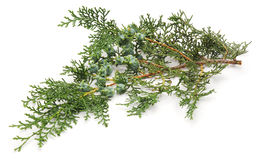 Arborvitae branch. Arborvitae branch on a white background Stock Images