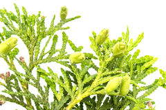 Arborvitae branch on a white background. We see   flowers  in a garden near Kiev Stock Photos