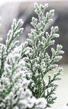 Arborvitae branch in winter frost.  Royalty Free Stock Image