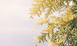 Arborvitae branches covered with frost on a background of snow and winter lit by the morning sun Royalty Free Stock Photography
