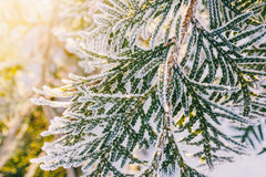 Arborvitae branches covered with frost in the early winter morning. Close-up Royalty Free Stock Photo