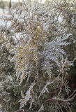 Arborvitae branches covered with hoarfrost  in the park. Thuja branches covered with frost  public garden in Kiev in winter Stock Photography