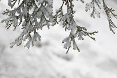Arborvitae branches covered with snow,. Arborvitae branches covered with snow Royalty Free Stock Photo
