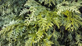 Arborvitae branches. Green branches of thuja in the spring Royalty Free Stock Images