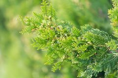 Arborvitae branches in nature as a background.  Royalty Free Stock Image