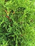 Arborvitae Stock Photo