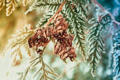 Arborvitae cones. Stock Image