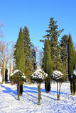 Arborvitae and cypress trees in winter. Against the blue sky Royalty Free Stock Images