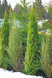 Arborvitae and cypress trees in winter. Arborvitae, cypress and spruce trees in winter Stock Photos