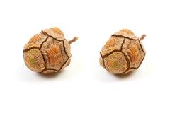 Abete rosso del cono con i semi su un bianco fotografia for I semi della pigna