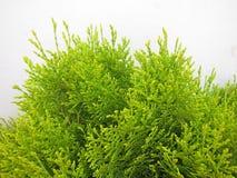 Arborvitae foliage Stock Image