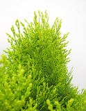 Arborvitae foliage Royalty Free Stock Images
