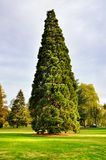 Arborvitae in garden Royalty Free Stock Photo