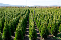 Arborvitae. Goldstrike Cedar. Nursery for many green Thuja in nature. Royalty Free Stock Image