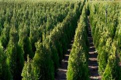 Arborvitae. Goldstrike Cedar. Nursery for many green Thuja in nature. Nursery for Goldstrike Cedar. Natural green conifer thuja planting garden outdoor Royalty Free Stock Image