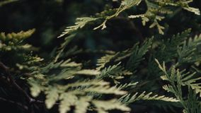 Arborvitae growing in a botanical garden stock video