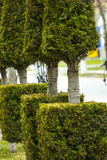 Arborvitae growing in a row tied with a rope Royalty Free Stock Photography