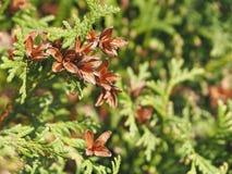 Arborvitae ist eine dekorative immergr?ne Anlage, ist eine Dekoration des Gartens stockfotos