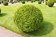 Arborvitae (lat. Thuja) round bush Royalty Free Stock Photography