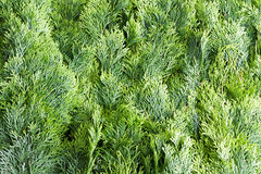 Arborvitae leaves background Stock Photo