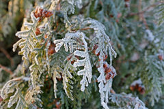 Arborvitae leaves in frost. Coniferous (Thuja) branches and cones covered with hoarfrost. Close up Royalty Free Stock Images