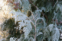 Arborvitae leaves in frost. Coniferous (Thuja) branches and cones covered with hoarfrost. Close up Royalty Free Stock Image